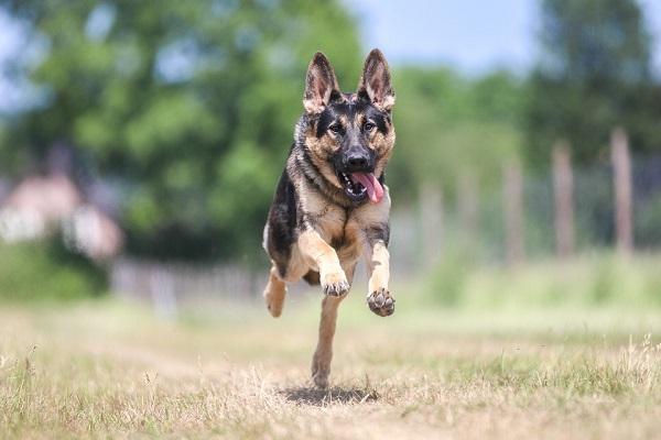 Pulire le orecchie al cane: come fare?