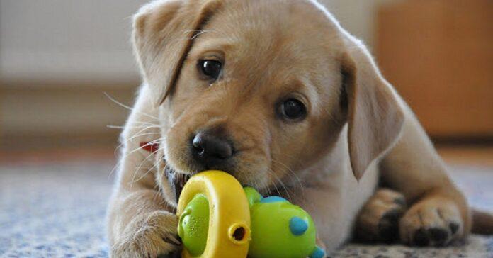 cucciolo di cane gioca
