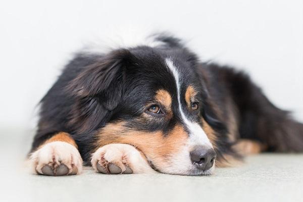 Toxoplasmosi nel cane