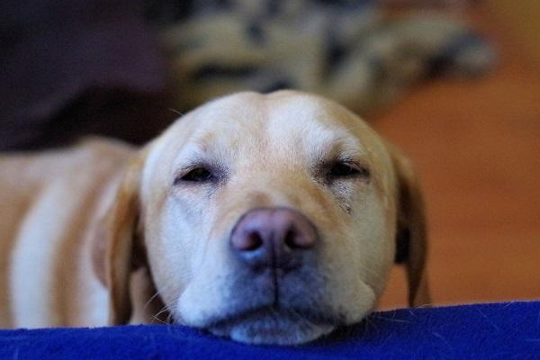 Follicolite canina: sintomi, cause e rimedi