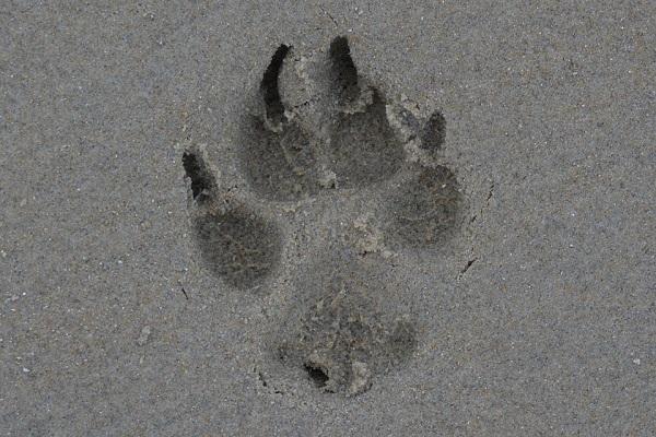 orma di zampa di cane sulla sabbia