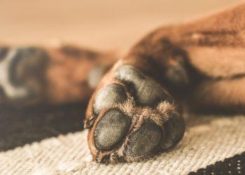 cuscinetti della zampa del cane