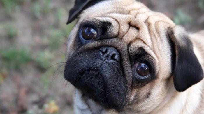Cane Carlino con gli occhi dolci