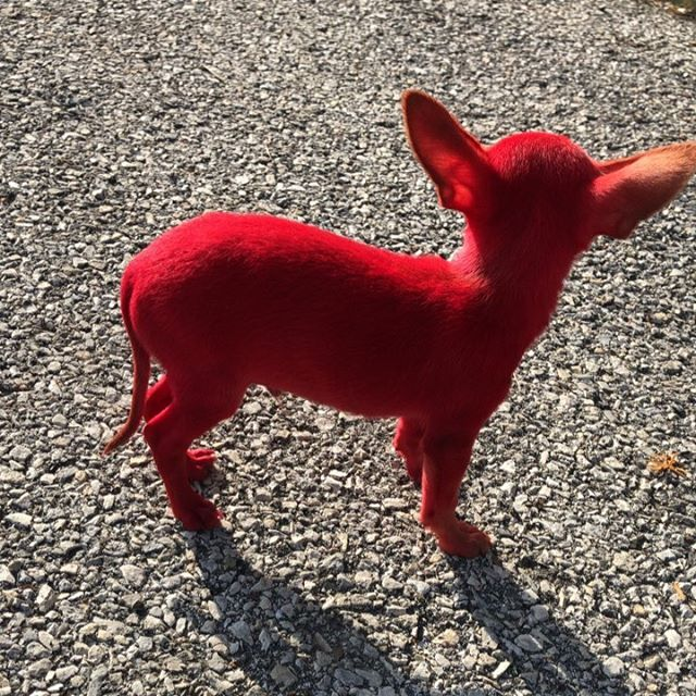 Cane Chihuahua dipinto di rosso