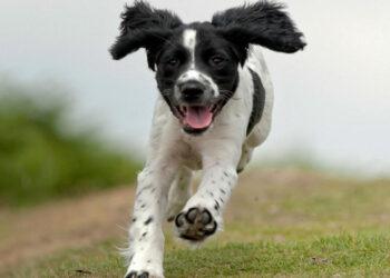 Cane che corre su un prato