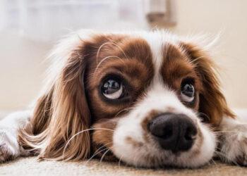 Cane che fa gli occhi dolci