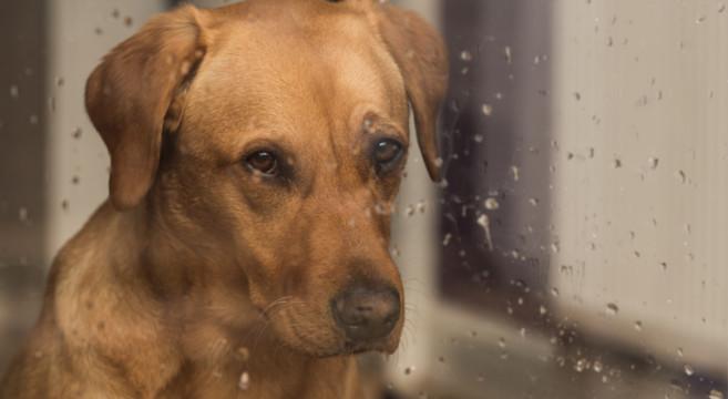 Cane che guarda la pioggia
