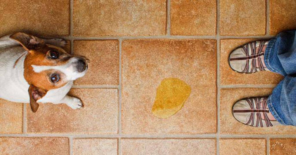 Il cane fa la pipì quando si emoziona? Ecco come farlo smettere