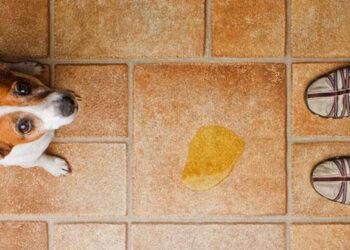 Cane che ha fatto la pipì in casa