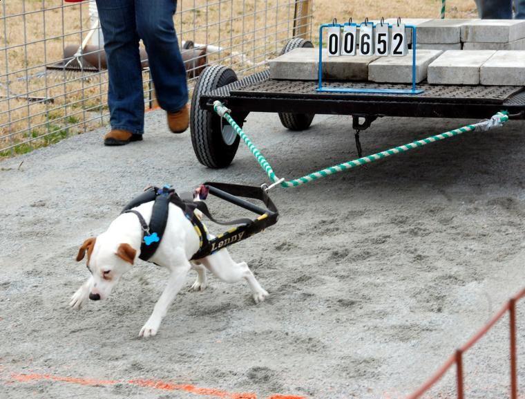 Cani che trainano cemento: l'ultimo terribile sport chiamato Weight Pulling