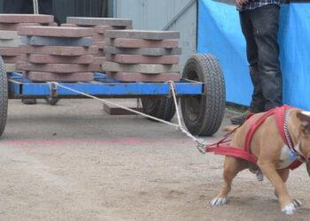 Cane che traina blocco di cemento