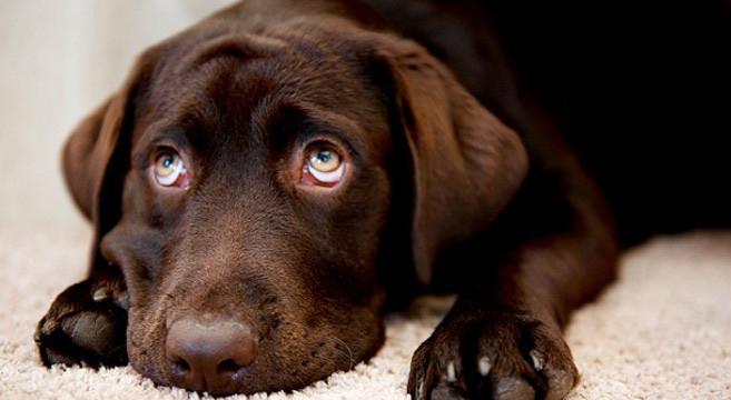Cane dallo sguardo colpevole