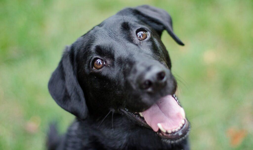Cane nero con la bocca aperta