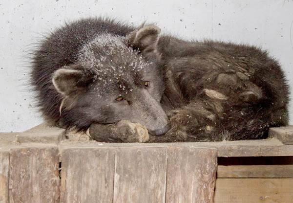 Cane orso
