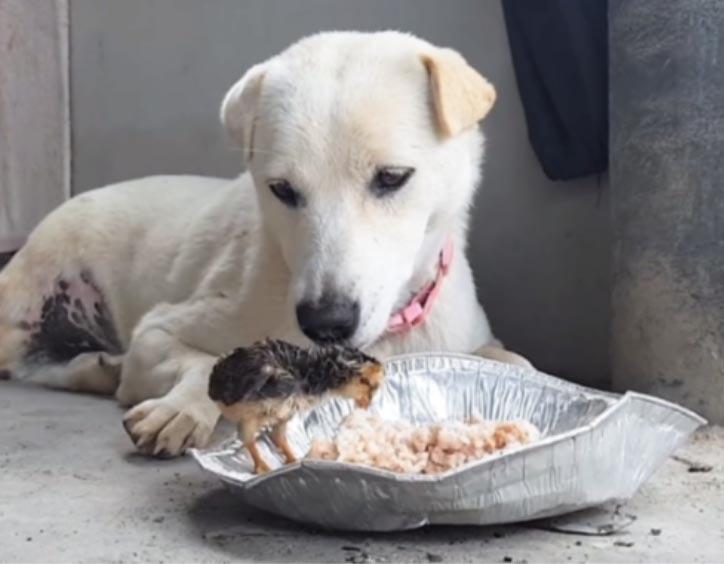 Cane osserva un pulcino mangiare