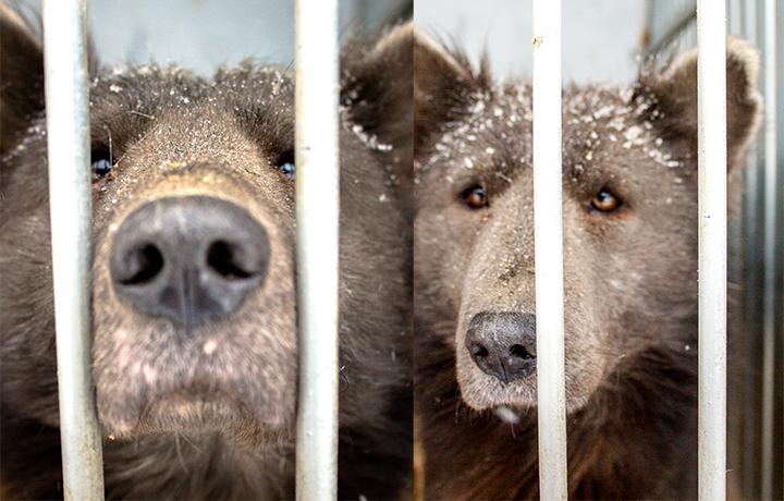 Cane simile ad un orso
