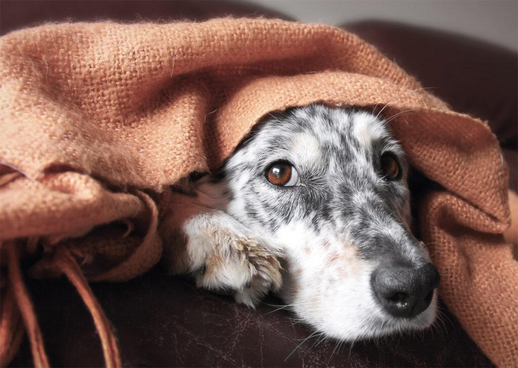 Cane sotto le coperte