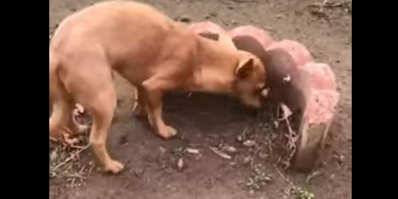 Cane porta del cibo al fratello sepolto: il video che commuove