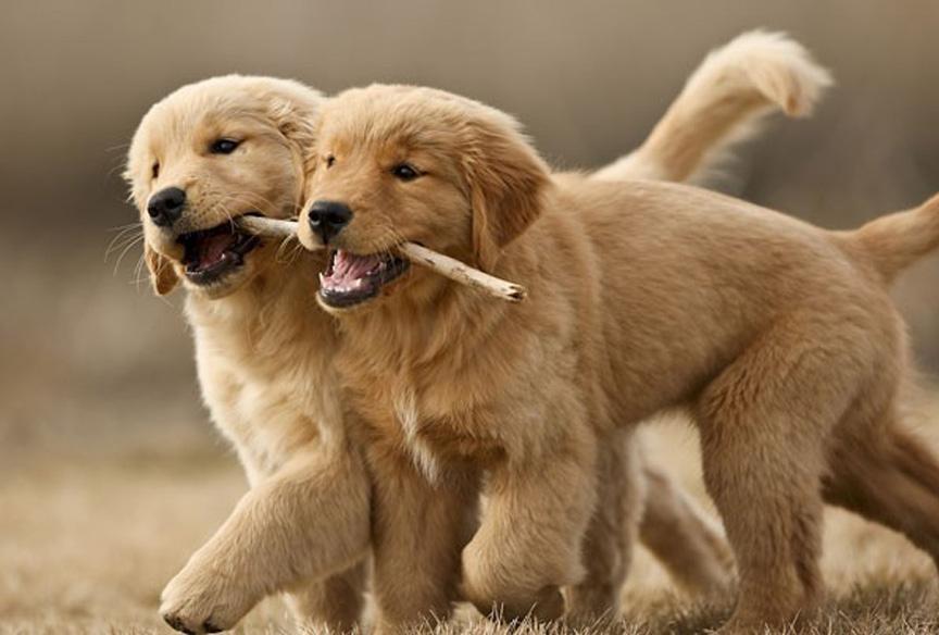 Cani che condividono un legnetto