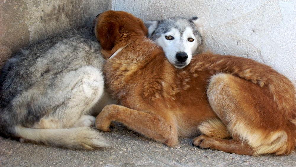 Cani che dormono abbracciati