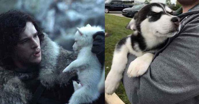 Cani e Game of Thrones ecco le conseguenze pagate dai Siberian Husky