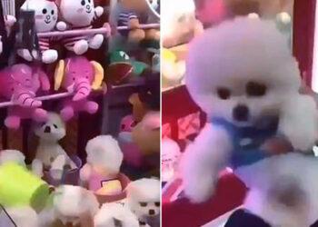 Cani vivi estratti da una macchina acchiappa peluche