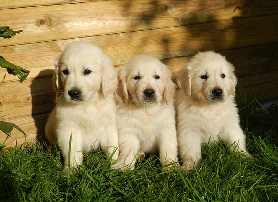 Cuccioli di cane della stessa cucciolata