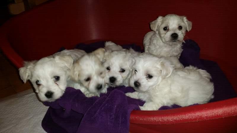 Cuccioli di cane maltese toy
