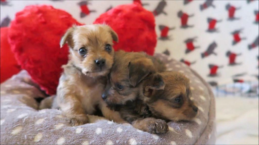 Cuccioli di cane su un cuscino