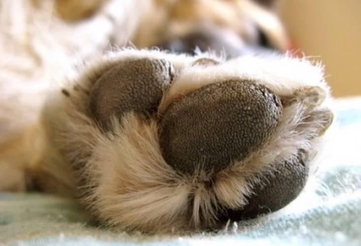 Cuscinetti della zampa di un cane