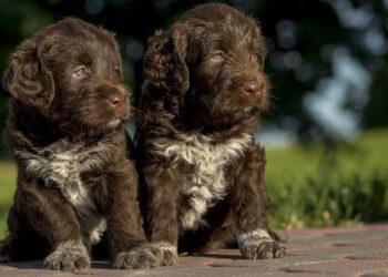 Due cuccioli di cane marroni