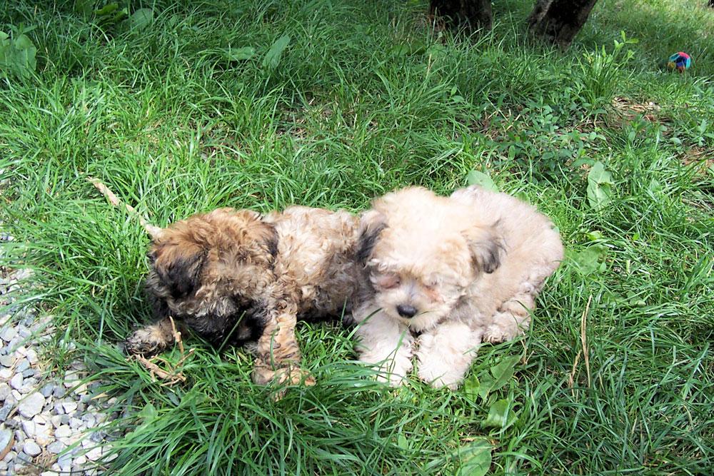 Due cuccioli di cane sdraiati nel prato
