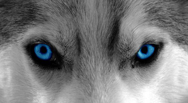 Cani e Trono di Spade: ecco le conseguenze pagate dai Siberian Husky
