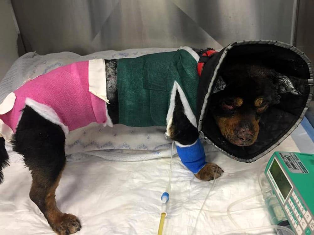 Il cane Fuego durante la riabilitazione