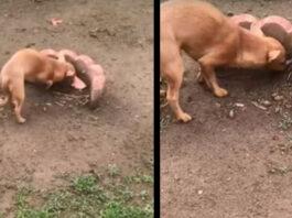 Il cane che seppelisce il cibo sulla tomba del fratello