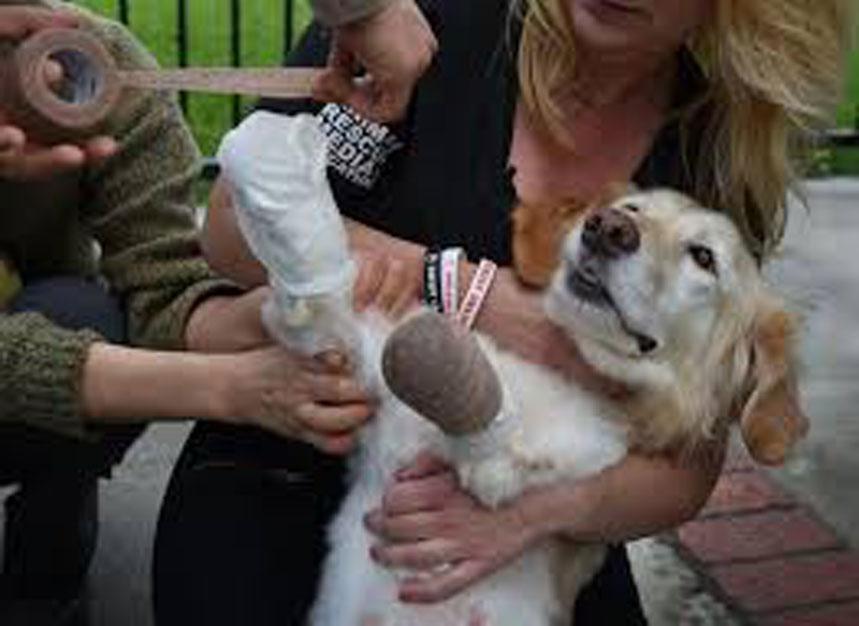 La rivincita di Chi Chi, il cane senza zampe che ora è finalmente felice