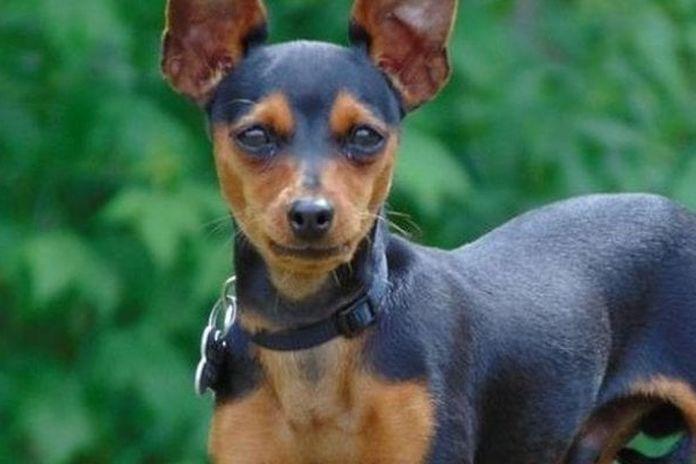 Jago, il cane conteso in tribunale