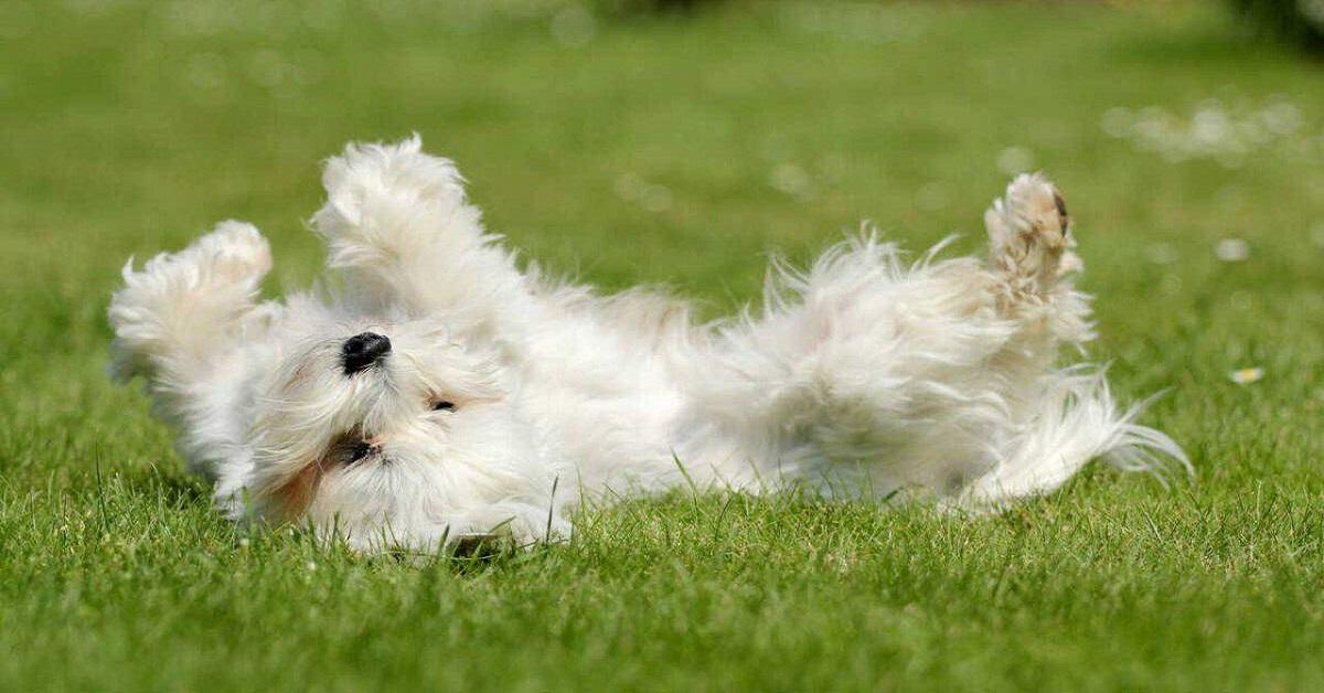 Il cane si rotola nell'erba: ma perchè lo fa? Ecco tutti i motivi