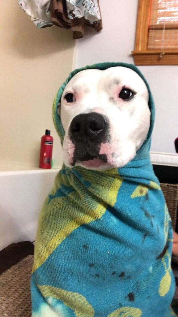Pitbull con una coperta addosso