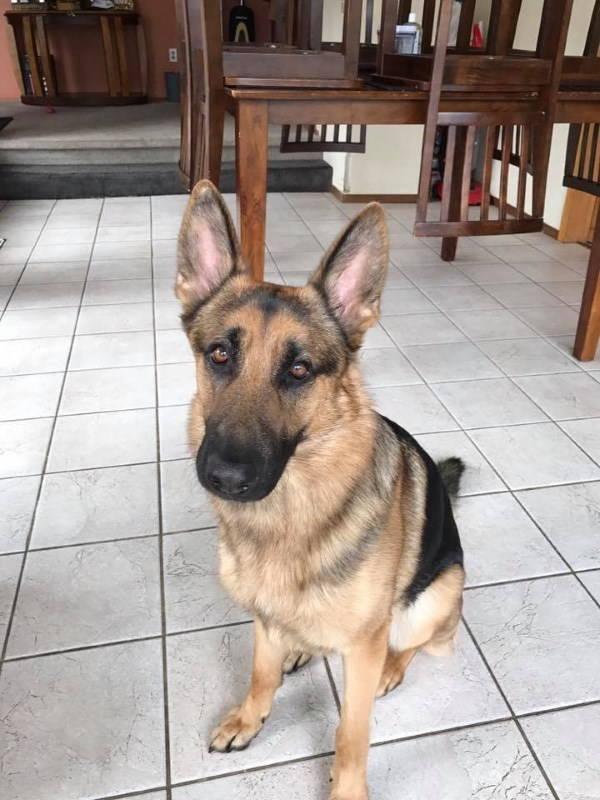 Rex, il cane pastore tedesco