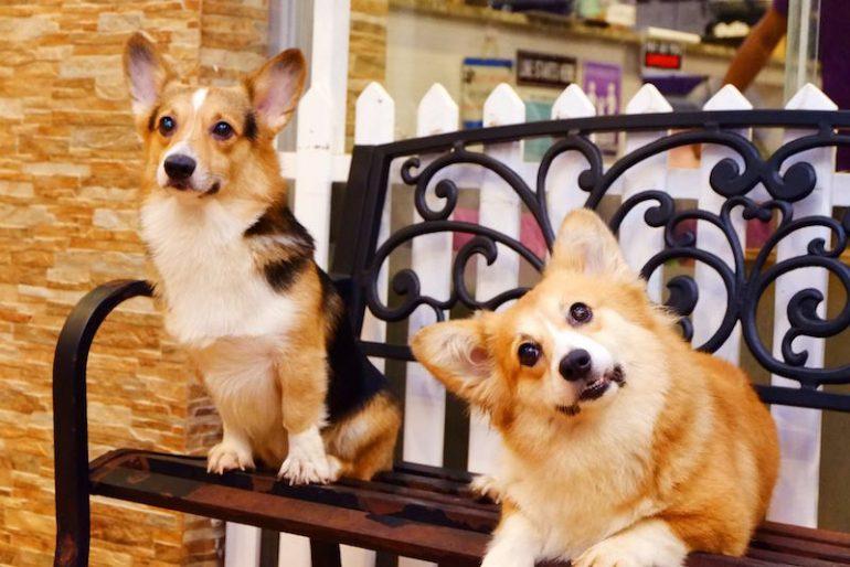 Un Dog cafè dedicato ai cani Corgi