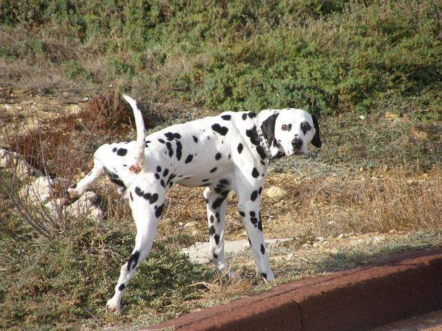 Un cane che fa la pipì