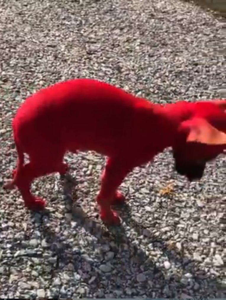 Un cane dipinto di rosso