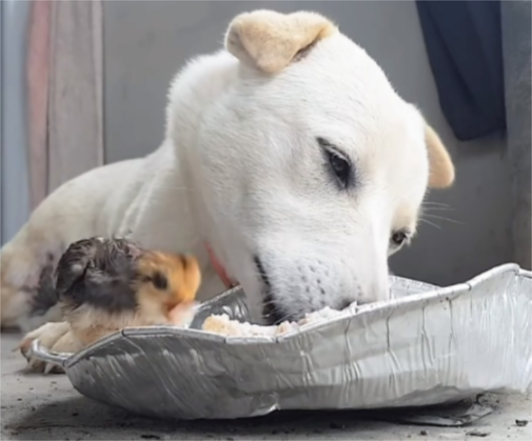 Un cane e un pulcino condividono il pasto