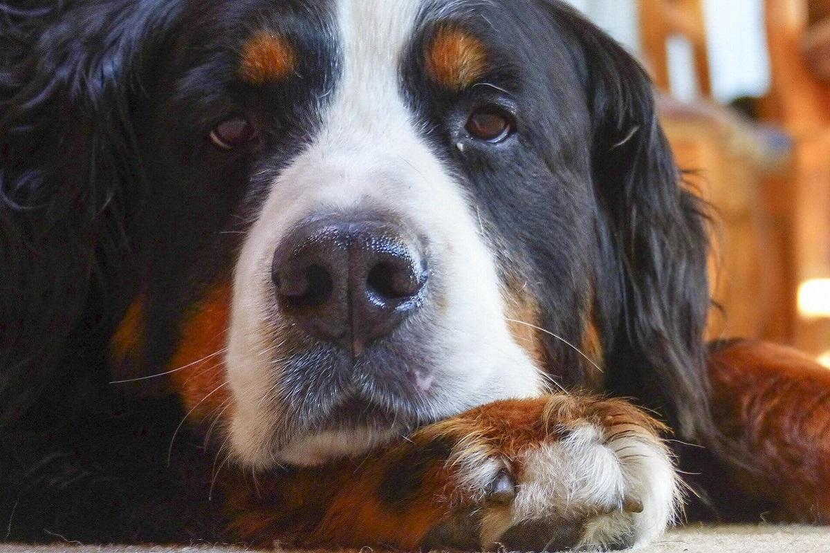 cane marrone, nero e bianco