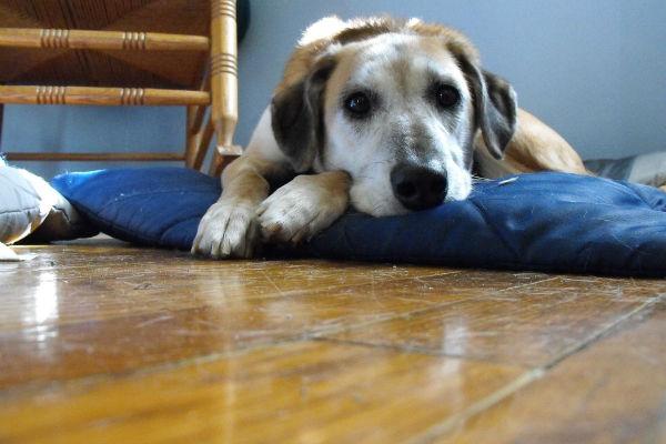 Fibrillazione ventricolare nel cane : cos'è e che succede