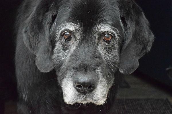 Alzheimer nel cane: sintomi, cause e cosa fare