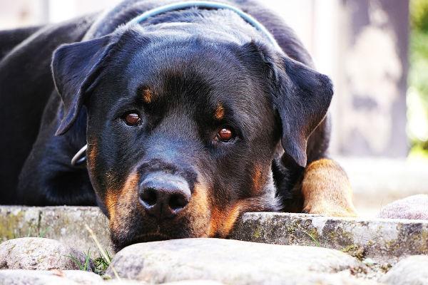 Balanopostite del cane: cos'è, sintomi e cura