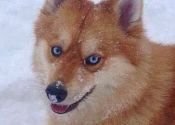 cane-assomiglia-volpe