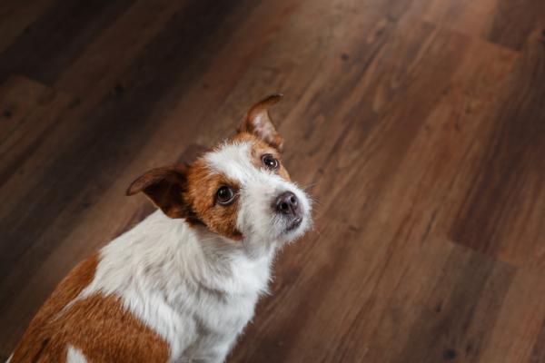 Perché il cane gratta il pavimento?